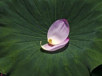 lotus-petals_tsurugaoka-hachimangu02
