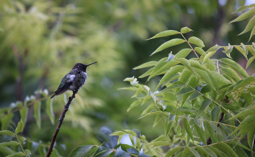 Hummingbird Songs