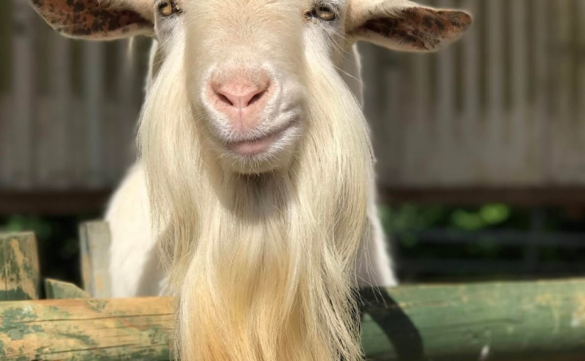 Grinning Goat